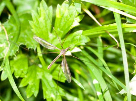 daddy long legs: daddy long legs crane fly Tipulidae close up ; England; UK