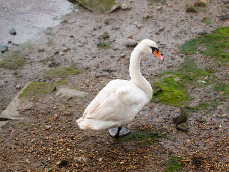 a single mute swan from behind below one foot looking at camera curious
