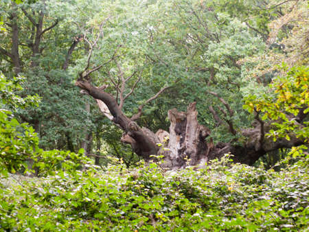 famous old knobbley old oak tree in forest in mistley