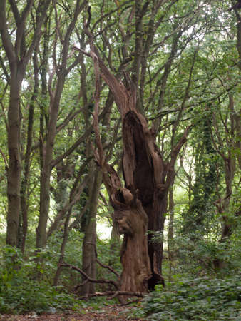 an old hollowed out tree statue dead left inside forest Stock Photo