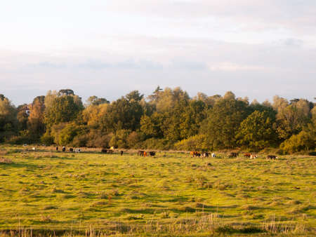 beautiful sunset lit green country land scene with trees and with farm dairy cows steers grazing in distance; England; Essex Stock Photo