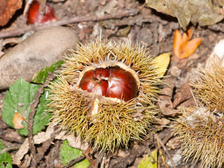 brown ripe fresh sweet chestnuts on forest floor with green shells open; essex; england; uk Stock Photo
