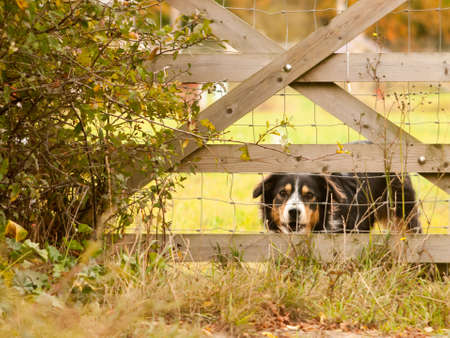 barking black border collie dog behind fence country home; essex; england; uk Stock Photo