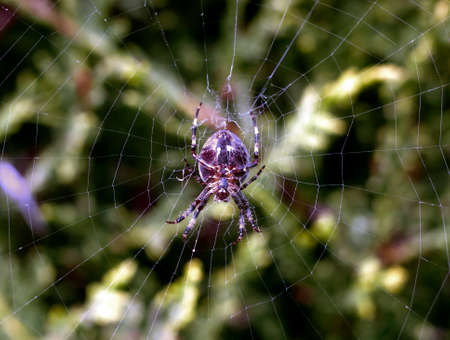 Amazing up close macro of garden spider common hanging on web. Essex. England, UK Stock Photo