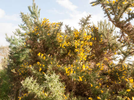 Beautiful stunning growing yellow bright gorse flowers on spiky beautiful stunning growing yellow bright gorse flowers on spiky bush essex england uk mightylinksfo