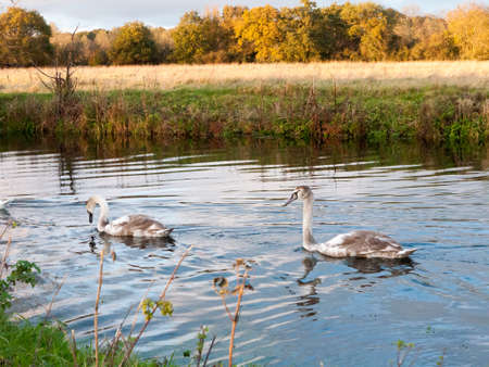 beautiful group of swans and cyngets swimming down river Dedham nature; essex; england; uk Stock Photo