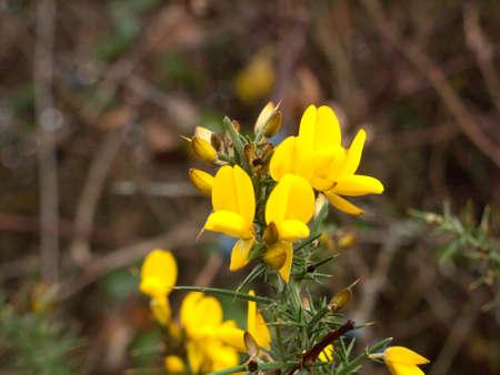 咲いたハリエニシダとげのある計画低木開花美しい黄金色をクローズ アップ。エセックス。イギリス;イギリス