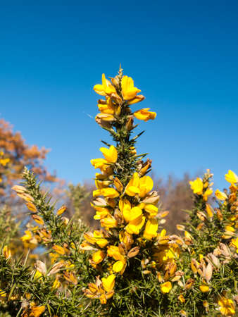 beautiful yellow gorse flowering plant spiky autumn tree background; essex; england; uk