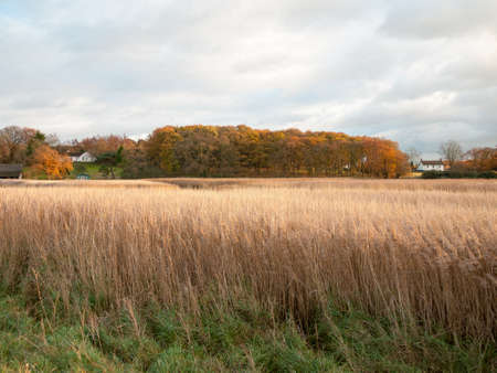 stunning golden reeds beautiful country empty space plans autumn bloom; essex; england; uk Stock Photo
