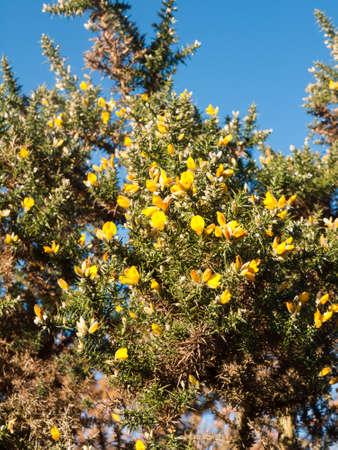 Beautiful yellow gorse flowering plant spiky autumn tree background beautiful yellow gorse flowering plant spiky autumn tree background essex england uk stock mightylinksfo