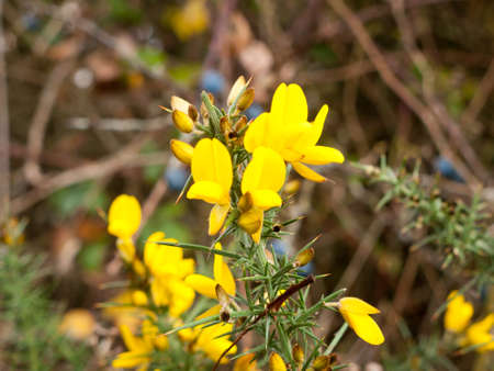 beautiful golden yellow small gorse broom flowers buds blossom; essex; england; uk