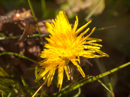 close up of yellow long petaled dandelion on the ground bright; essex; england; uk