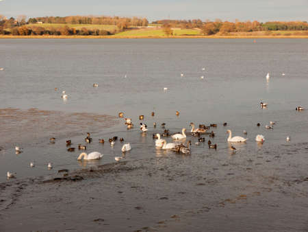 swans, geese, birds, ducks seaside animals tide out coast landscape sand mud mudflat; essex; england; uk Foto de archivo