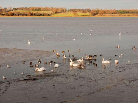 swans, geese, birds, ducks seaside animals tide out coast landscape sand mud mudflat; essex; england; uk Banque d'images