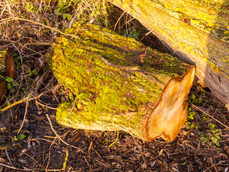 close up of tree bark stump with green moss growing on bark on ground; essex; england; uk
