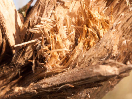 close up of chipped split wooden branch texture sharp splinters; essex; england; uk