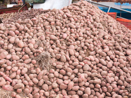 close up pile of potatoes outside farm house agriculture; essex; england; uk Stock Photo