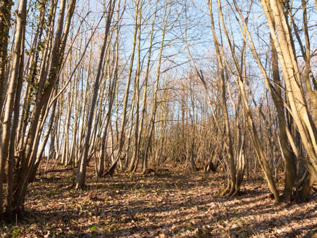 inside wood with many tree bare trunks tall forest woodland; essex; england; uk Stock Photo