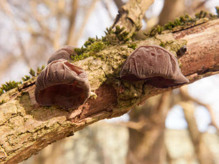close up of growing hanging jelly jew ears tree elder - Auricularia auricula-judae (Bull.) Wettst. - Jelly Ear Fungus; essex; england; uk Stock Photo