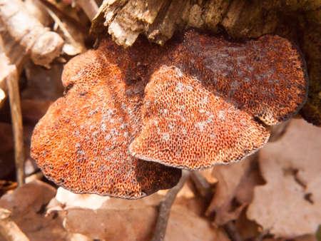 close up of underside of polypore bracket mushroom tree stump macro detail; essex; england; uk