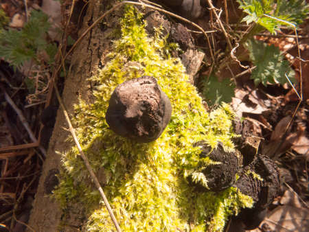 black fungi ball tree stump - Daldinia concentrica (Bolton) Ces. & De Not. - King Alfred's Cakes; essex; england; uk