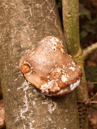 large white and brown bracket fungus fungi growing on dead tree stump autumn; essex; england; uk Stock Photo