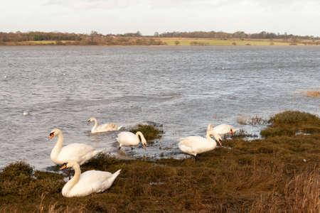 beautiful swans grazing on the coast of essex manningtree Stock Photo