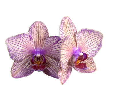 emty: Orchid flowers close up isolated over a white background with emty copy space
