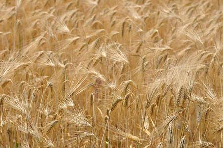 wheatfield: Wheat field illuminated by rays of the setting sun