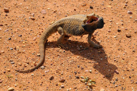 Angry lizard, Bearded Dragon Pogona Genus, Australia. 版權商用圖片