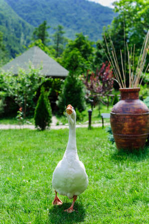 arched neck: White goose on green grass in mountain landscape