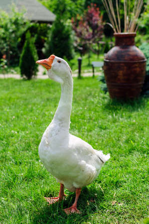 White goose on green grass in mountain landscape