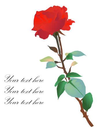 美しい赤いローズ背景ベクトル。