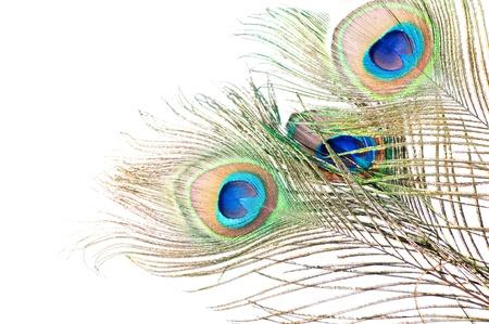 pavo real: Cerca de una pluma de pavo real en el fondo blanco