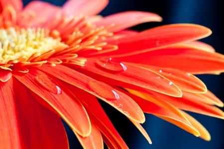 Red GEBERA Blume Nahaufnahme mit Wassertropfen auf dem Bl�tenblatt Lizenzfreie Bilder