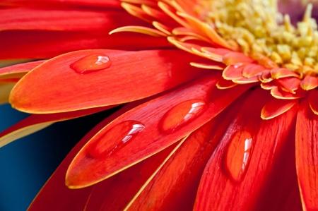 赤 gebera 花近くにまで水が値下がりしました花びらの上に 写真素材