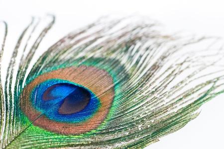 pluma de pavo real: Cerca de una pluma de pavo real en el fondo blanco