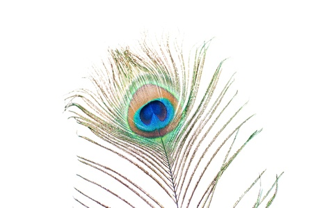 Close up of a Peacock feather on white background photo