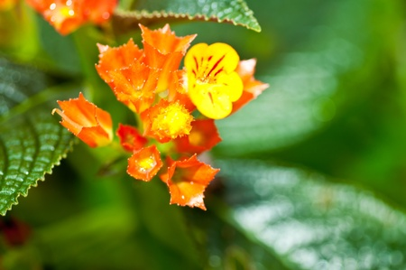 Orange and yellow tropical wild flower close up after rain fall Stock Photo - 11374332