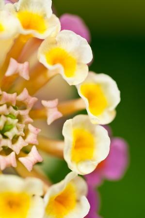 Eine Nahaufnahme von einem rosa und gelb Lantana camara Blumen im Garten Lizenzfreie Bilder