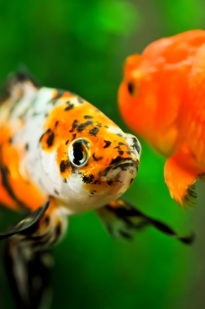 American shubunkin or poor mans koi and a gold oranda goldfish close up in a fish tank