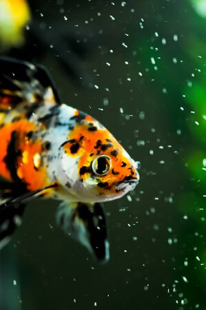 American shubunkin or known as the red brocade and the poor mans koi close up in a fish tank Stock Photo - 11744111