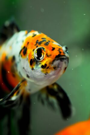 American shubunkin or known as the red brocade and the poor mans koi close up in an aquarium photo