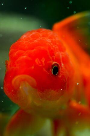 oranda: Oro pesce rosso Oranda da vicino in un acquario