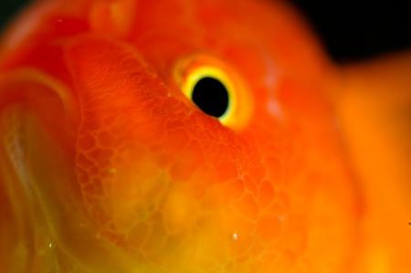 oranda: Oro estrema pesci rossi oranda da vicino in una vasca di pesci