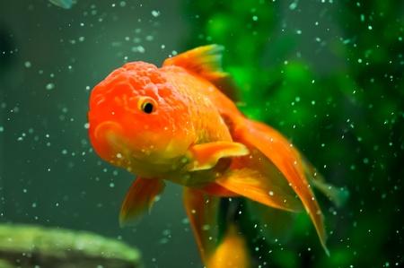 Gold oranda goldfish in an aquarium Stock Photo