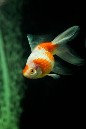 oranda: Pearlscale oranda pesci rossi in un acquario