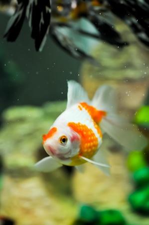 Pearlscale oranda goldfish in a fish tank