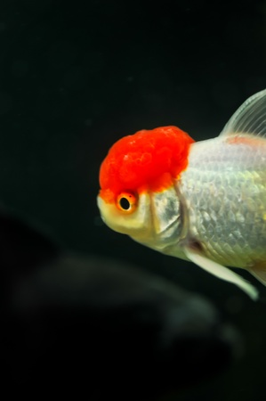Red cap oranda and black oranda goldfish in a fish tank photo