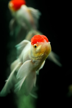 Two red cap orandas swimming in a fish tank Stock Photo - 11744078